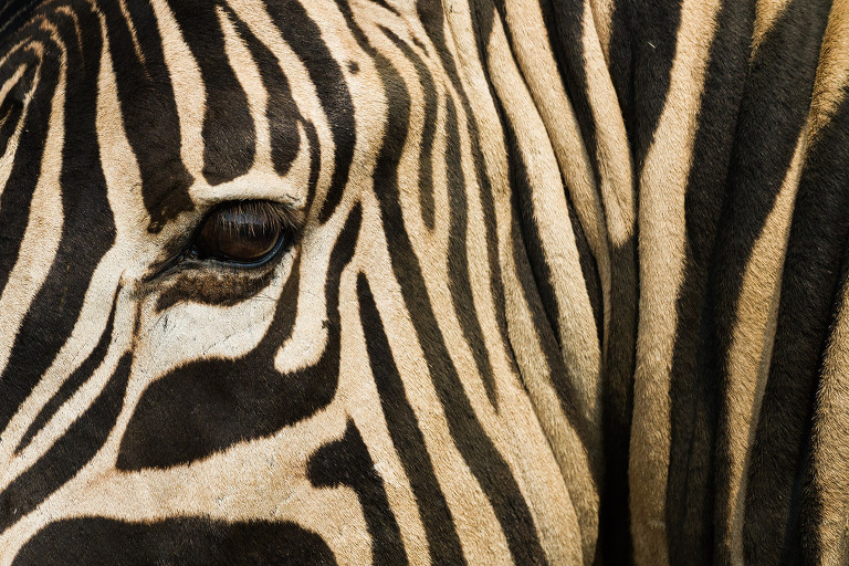 African Wildlife Photography Prints - Zebra Print