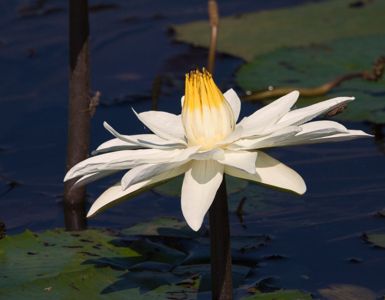 African Wildlife Photography Prints - Lillies